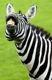 Смешная зебра Стоковое Изображение