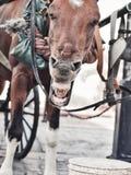 Смешная зевая лошадь экипажа в Санто Доминго, Dominican Republ Стоковое Изображение