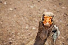 Смешная и очень любопытная гусыня стоковые фотографии rf