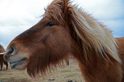 Смешная и шальная исландская лошадь темно-синее исландское небо стоковая фотография