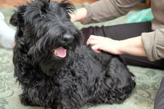 Смешная капризная собака Стоковое фото RF