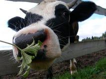 Смешная корова на выгоне в русской деревне Стоковое Изображение RF