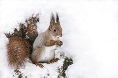 Смешная красная белка сидя на стволе дерева покрытом с белым снегом с гайкой в лапках стоковые фото