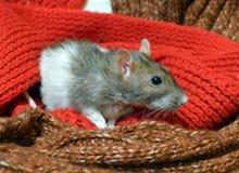 Смешная крыса среди теплых шарфов стоковое изображение rf