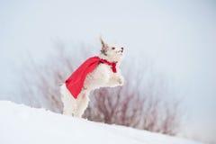 Смешное курчавое супер летание собаки Стоковые Фотографии RF