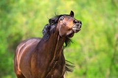 Смешная лошадь залива Стоковое Изображение RF