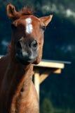 смешная лошадь Стоковые Изображения