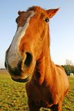 смешная лошадь Стоковое Изображение
