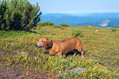 Смешная малая собака ища голубики Стоковое Изображение