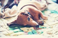 Смешная малая собака ослабляя удобно под вуалью стоковое изображение