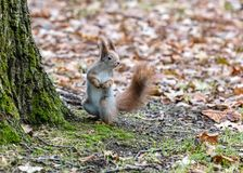 Смешная маленькая белка стоя близко дерево в осеннем парке стоковая фотография rf