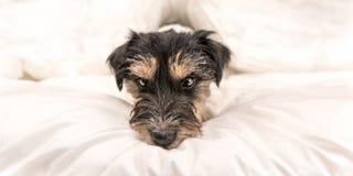 Смешная маленькая собака терьера Джек Рассела лежащ и спящ в кровати стоковое фото