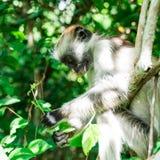 Смешная маленькая обезьяна colobus сидя на дереве, Занзибар Стоковые Фотографии RF