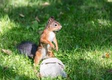 Смешная молодая красная белка в поисках еды в парке города стоковое фото rf