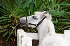 Смешная молодая лошадь есть цветки через загородку Стоковое Фото