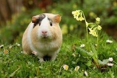 смешная морская свинка Стоковая Фотография
