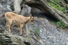 Смешная молодая коза Стоковые Фото