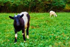 Смешная молодая коза Стоковое Изображение RF