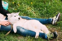 Смешная молодая осиплая собака щенка сидит в объятии девушки в зеленой траве Стоковое Фото