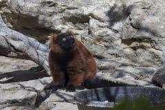 смешная обезьяна Стоковая Фотография