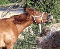 Смешная лошадь во время еды Стоковое Изображение