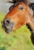 смешная лошадь Стоковое Изображение RF
