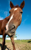смешная лошадь Стоковая Фотография RF