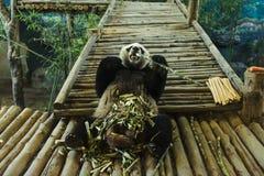 Смешная панда есть бамбук в зоопарке Чиангмая Стоковое Фото