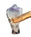 Смешная птица голубя сала сидит на ветви Стоковая Фотография