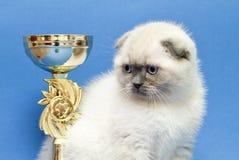 Смешная светлая маленькая створка scottish породы котенка стоковое изображение rf