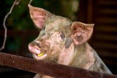 смешная свинья Стоковое Изображение