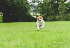 Смешная собака бежать на лужайке зеленой травы держа теннисный мяч во рте стоковые фото