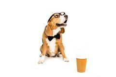 Смешная собака бигля в eyeglasses и бабочке сидя около устранимой кофейной чашки Стоковые Изображения