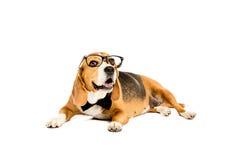 Смешная собака бигля лежа в eyeglasses и бабочке Стоковые Фото