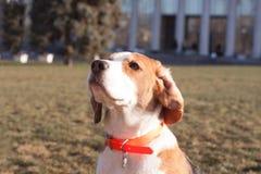Смешная собака бигля Стоковое Изображение RF