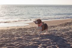 Смешная собака бигля Стоковое Фото