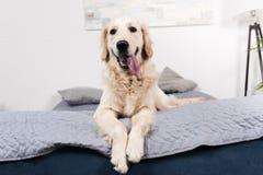 Смешная собака золотого retriever смотря камеру пока лежащ на кровати Стоковые Фотографии RF