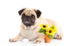 Смешная собака изолированная на белой предпосылке, цветках Стоковые Изображения RF