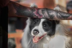 Смешная собака Коллиы границы кладет лапки в наличии с татуировкой Стоковая Фотография