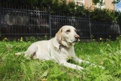 Смешная собака Лабрадор с с открытыми ртом и длинным языком Селективный фокус стоковая фотография