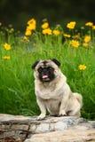 Смешная собака любимчика стоковое фото rf