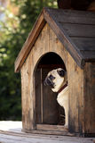 Смешная собака мопса в доме собаки Стоковое Изображение