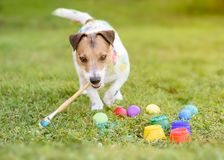Смешная собака с paintbrush делая пасхальные яйца DIY на траве стоковое фото rf