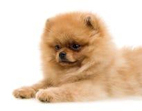 Смешная собака шпица Стоковое Изображение RF