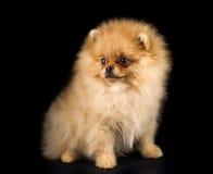 Смешная собака шпица Стоковое Изображение