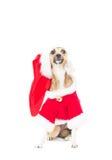 Смешная собака redhead Стоковые Фото