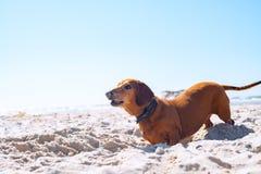 Смешная старая собака выкапывает отверстие на пляже Стоковое фото RF