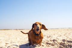 Смешная старая собака выкапывает отверстие Стоковая Фотография RF