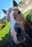 Смешная усмехаясь лошадь с длинным носом Стоковое Изображение