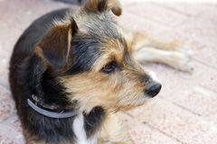 Смешная чернота, белизна и чело собаки щенка Стоковые Изображения